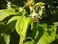 Vespula vulgaris (03).jpg