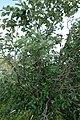 Viburnum lantana, Sambucaceae 04.jpg
