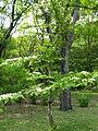 Viburnum plicatum var tomentosum3.jpg