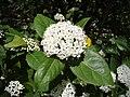 Viburnum tinus. Fiyáu. (detalle flor).jpg