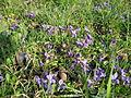 Vijolice - Viola odorata.JPG
