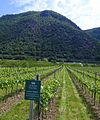 Vineyard in the Wachau, near Spitz, Niederösterreich, Austria. - panoramio.jpg