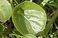 Viola.palustris4.-.lindsey.jpg