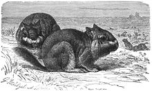 Viscacha-drawing.jpg
