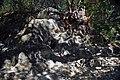 Volcanic tuff (Sonoma Volcanics, Upper Pliocene, 3.2-3.4 Ma; Calistoga Petrified Forest, Calistoga, California, USA) 22 (49092778126).jpg