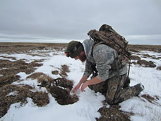 Animal and Plant Health Inspection Service - Wildlife Services (WS) field specialist sets a fox trap at the Barrow Steller's Eider Conservation Area in Alaska
