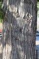 W Red Cedar 168.jpg