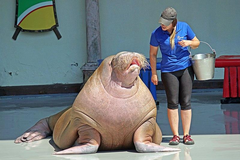 File:Walrus in Marineland, Ontario, Canada - 2017 (37223504105).jpg
