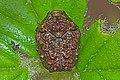 Warty Leaf Beetle - Neochlamisus species, Julie Metz Wetlands, Woodbridge, Virginia.jpg
