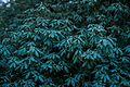 Warwick Rhododendron Ericaceae (hybrid).jpg
