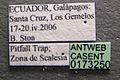 Wasmannia auropunctata casent0173250 label 1.jpg