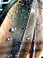 Wassertropfen auf Nilgansfeder (1).JPG