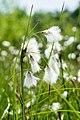 Wełnianka wąskolistna Eriophorum angustifolium, jezioro Torfy, Aleksandrów, Wawer, Warszawa 2.jpg