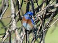Western Bluebird - Flickr - GregTheBusker (1).jpg