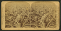 Where the luscious pineapple grows, Florida, U.S.A, from Robert N. Dennis collection of stereoscopic views 4.png