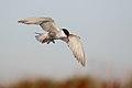 Whiskered Tern (Chlidonias hybrida) (38597495595).jpg
