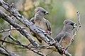 White-backed Mousebirds (Colius colius) (32608054032).jpg