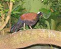 White-naped Pheasant Pigeon 3.jpg