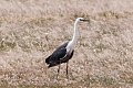 White-necked Heron (Ardea pacifica) (8079574784).jpg