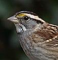 White-throated sparrow in Prospect Park (70915).jpg