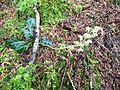 White-veined wintergreen - Flickr - brewbooks (1).jpg