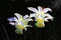 White Daffodils (3389464738).jpg