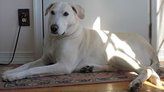 White Labrador Retriever hybrid.JPG