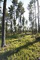 White Pine Shelterwood DBD.jpg