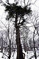White Pine on the Bruce Trail.JPG