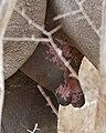 White Rhino (Ceratotherium simum) female tits ... (31671503353).jpg