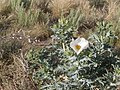 White Thistle in flower P5310704.JPG