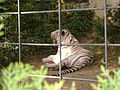 White Tiger Zoo.JPG