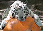 White Tiger and Ball 2 (15564203912).jpg
