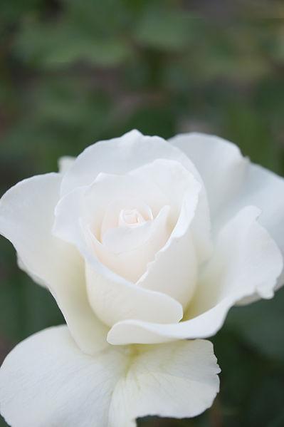 399px-White_rose_%288001502081%29.jpg
