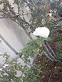 White rose single.jpg