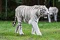 White tiger - Serengeti-Park Hodenhagen 2017 04.jpg