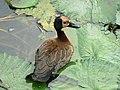 Whitefaced duck (393958722).jpg