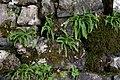 Wikimania Esino Lario 2016-06-25 T16 fern moss.jpg