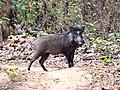 Wild Boar at Mukki.jpg