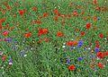 Wild flowers (29903673795).jpg