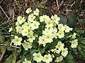 Wild primroses - geograph.org.uk - 373464.jpg