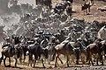 Wildebeest Migration Masai mara.jpg