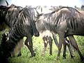 Wilderbeast grazing - Flickr - gailhampshire.jpg