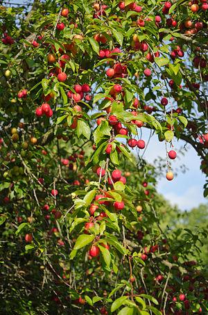 Cherry plum - Image: Wildpflaume Althof 2