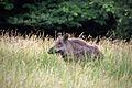 Wildschwein, Nähe Nikolaitor.jpg