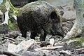 Wildschwein im Dreck im Wildpark Betzenberg.jpg