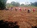 Women Planting Onions 04.jpg