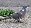 Wood pigeon side 9l07.JPG