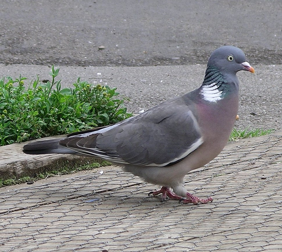 Wood pigeon side 9l07