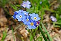 Woodland Forget-me-not (Myosotis sylvatica) (16604387513).jpg